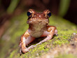 Brown Marsh Frog (Pulchrana baramica) in Bako National Park, Borneo