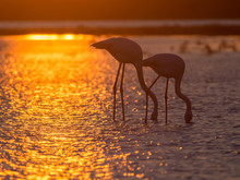 Silhouette Of Flamingos In Cam...