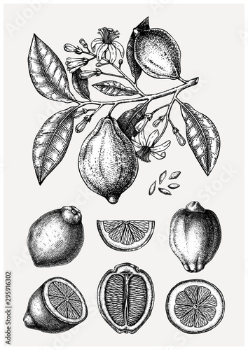 Vintage Ink hand drawn citrus fruits collection. Vector illustration of highly detailed lemons branch - citrus fruits sketches. Perfect for packing, greeting cards, invitations, prints etc