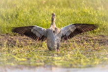 Egyptian Goose Spreading Wings