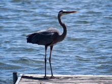 Great Heron On Dock With Lake ...