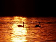 Swans Silhouette In Sunset Lig...