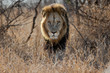 canvas print picture - Lion - dominant male walking in the bush in Kruger National Park in South Africa