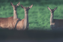 Young Red Deer Stag With Two F...