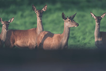 Young Red Deer Stag With Three...