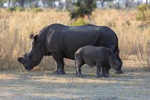 Two Rhinos In Moremi Game Reserve, Botswana