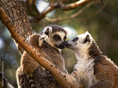 Family of lemurs in the tree Canvas Print