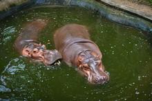 Hippopotamus, Hippo Living In Water Lake