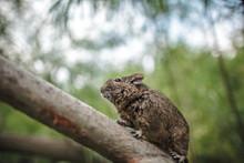 Rodent Degu Climbed On A Tree ...