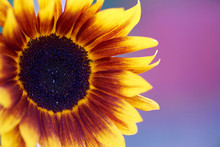 Decorative Sunflower Close-up On A Colored Background.