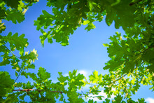Young Light Green Oak Foliage Against A Blue Sky And White Clouds.