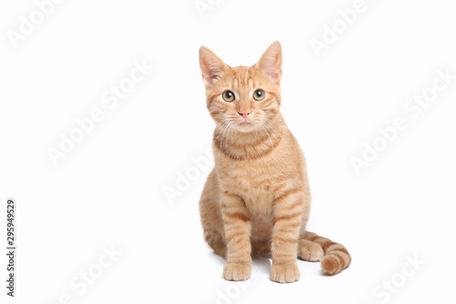 Beautiful cute orange cat Wallpaper Mural