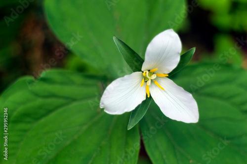 Foto auf Gartenposter Grun Trillium in the Pacific Northwest Rainforest