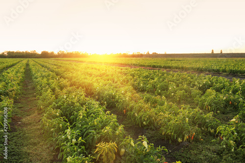 Fotografia View of bell pepper field on sunny day