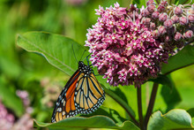 Monarch Butterfly On A Milkweed Flower