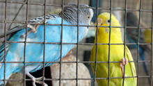 Two Budgerigars Interacting Gr...