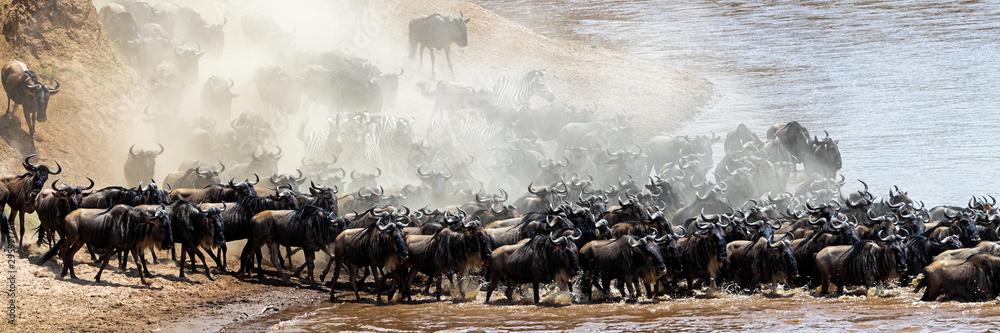 Fototapeta Dusty Scene of Wildebeest Crossing Mara River