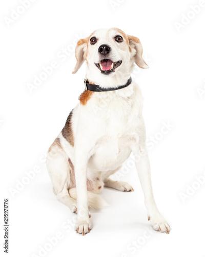 Cuadros en Lienzo Happy Smiling Beagle Mixed Breed Dog Sitting