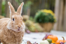 Rufus Rabbit Surrounded By Colorful Fall Leaves, Pumpkins And Mums, Fall Scene With Funny Expression On Face