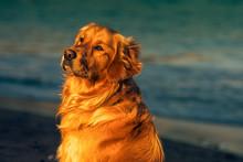 Golden Retriver Beautiful Dog On The Beach Ireland