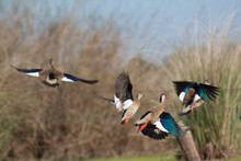Four Brazilian Teal Ducks Taki...