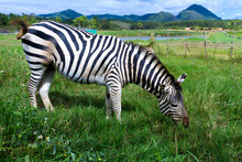 Zebra Eating Green Grass In Singha Park