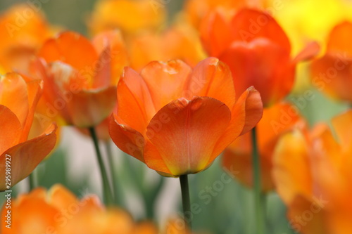 Autocollant pour porte Poppy Orange tulips in the garden