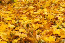 Yellow Maple Leaves Fallen To The Ground. Outside Is A Sunny Autumn Day. Autumn Art Concept
