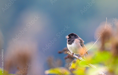 Fotografija black eyed junco on black berries