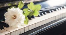 Beautiful Rose On The Piano Ke...