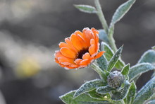 Hoarfrost On A Calendula Flower In The Morning