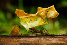 Leafcutter Ant In Amazon Rainf...