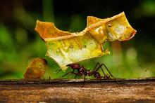 Leafcutter Ant In Amazon Rainforest, Ecuador