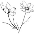 Vector Cosmos floral botanical flowers. Black and white engraved ink art. Isolated cosmea illustration element.