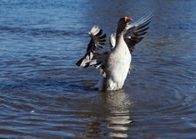 Grey Goose Waves Wings Amid Water Surface