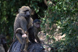 The olive baboon (Papio anubis), also called the Anubis baboon, is a member of the Cercopithecidae family