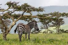 Zebra Under The Tree