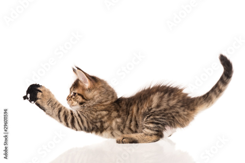 Cadres-photo bureau Chat Maine Coon kitten