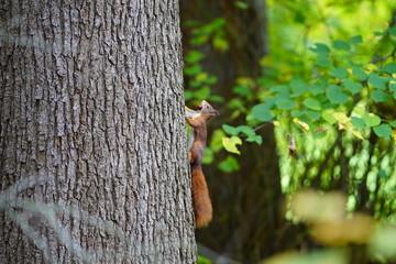 squirrel on a tree Brasschaat park
