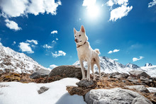 White Siberian Husky Or Eskimo Dog In Mountains