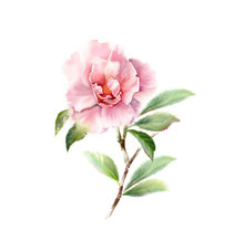 Watercolor Camellia Big Pink F...