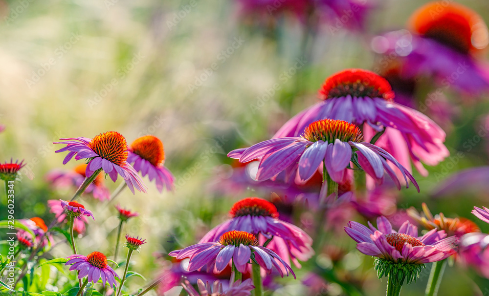 Fototapety, obrazy: The Echinacea - coneflower close up in the garden