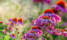 The Echinacea - Coneflower Clo...
