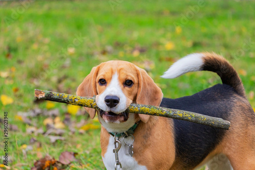 Photo Dog breed Beagle in the woods playing with a stick in his teeth.