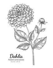Dahlia Flower Drawing Illustra...