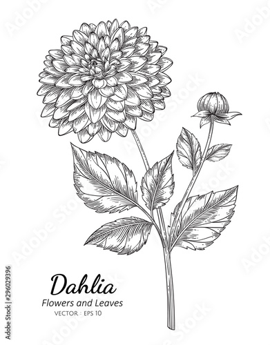 Dahlia flower drawing illustration with line art on white backgrounds Wallpaper Mural