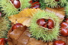 Edible Chestnut Fruits On The Ground In The Autumn