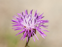 Purple Corn Flower Isolated On...
