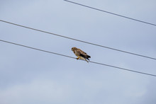 Bird Of Prey Sitting On An Electric Wire Against A Pale Autumn Sky. Bird On Wires As A Musical Note In A Score.