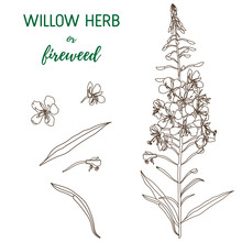 Willow Herb Vector Set. Chamer...